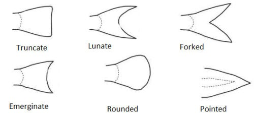 image of Caudal fin types