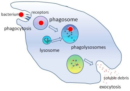 Image of lysosome and phagocytosis