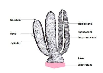 image of labelled diagram of Scypha