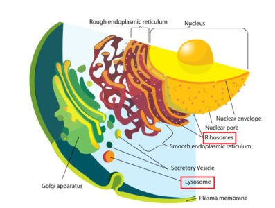 image of Cell showing Ribosome and Lysosome
