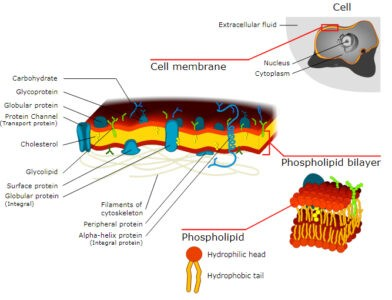 image of Fluid mosaic model of plasma membrane