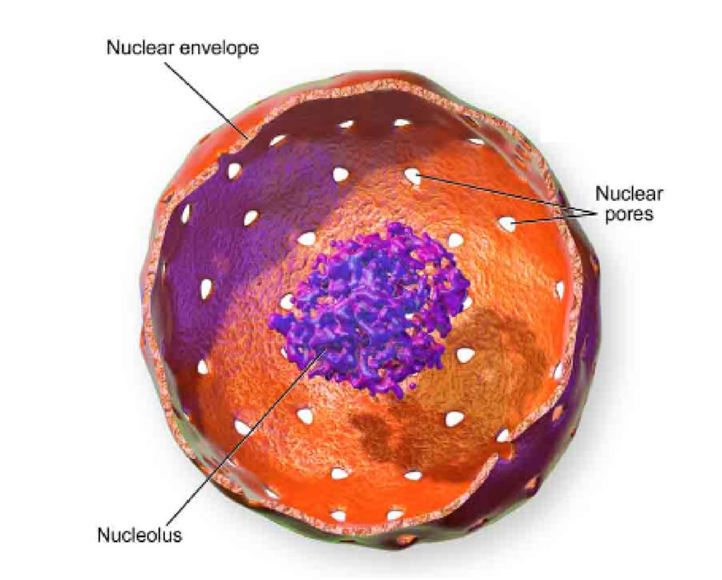 Cell Nucleus  Definition  Structure And Functions