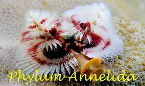 image of Annelida
