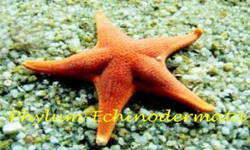 image of Echinodermata