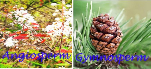 image of Difference between angiosperm and gymnosperm