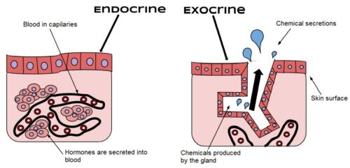 image of Endocrine and exocrine glands