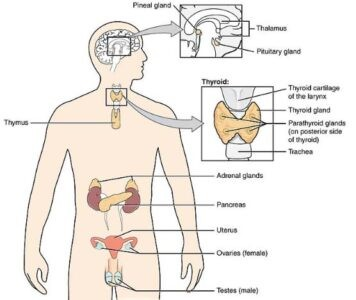 image of Endocrine glands