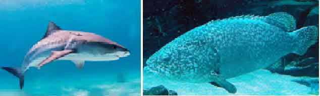 image of Chondrichthyes-vs-osteichthyes