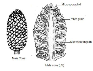 Image of Male cone of pinus