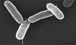 image of Salmonella