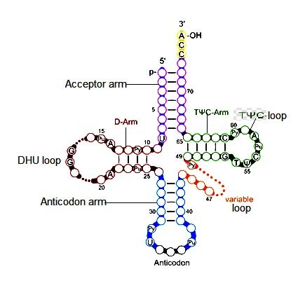 image of Clover leaf model of tRNA