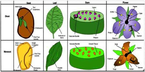 image of Dicot and monocot plants