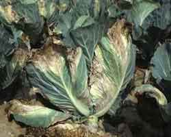 image of Black rot disease of cabbage