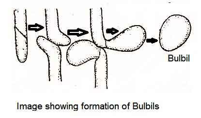 image of Bulbils