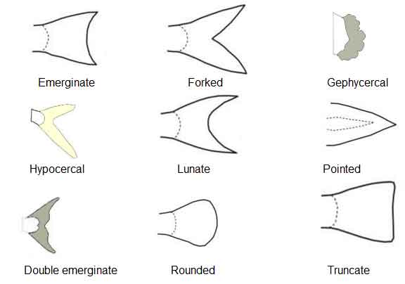 image of Caudal fins shape