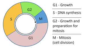 image of Cell cycle