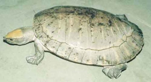 image of Central-American-river-turt