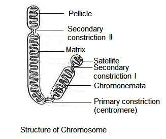 image of Chromosome structure