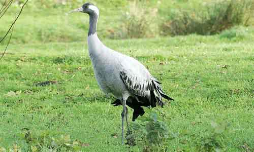 image of Common crane-(Grus grus)