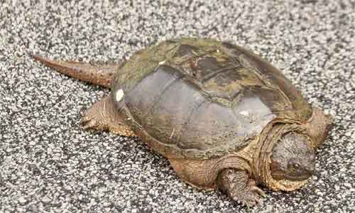 image of Common-snapping-turtle-(Che