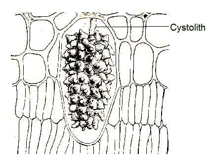 image of Cystoliths