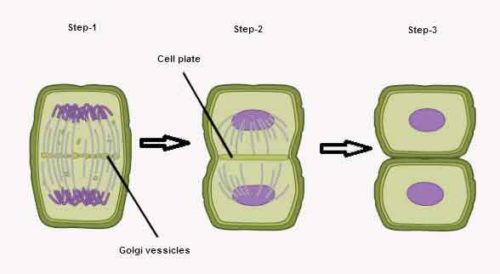 image of Cytokiness in plant cell