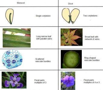 image of Difference between monocot and dicot plants