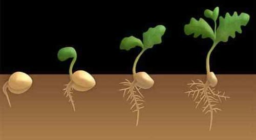 image of Germination process of dicot