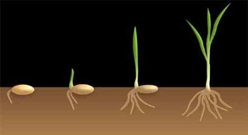 image of Germination process of monocot