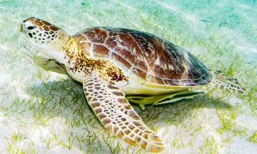 image of Green sea turtle