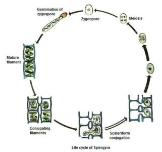 image of Life cycle of Spirogyra