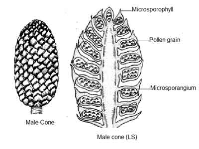 image of Male-cone of Pinus