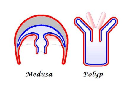 image of Medusa and polyp