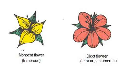image of Monocot and dicot flowers
