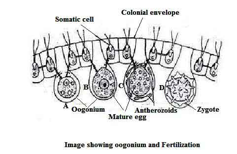 image of Oogonium and Fertilization