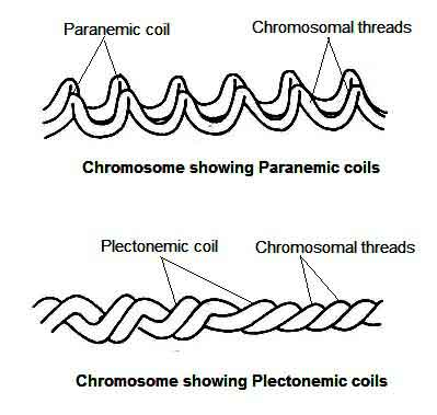 image of Paranemic and plectonemic chromosome