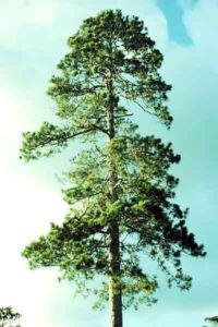 imaGE OF MATURED PINE TREE