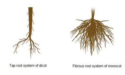 image of Root system of monocot and dicot