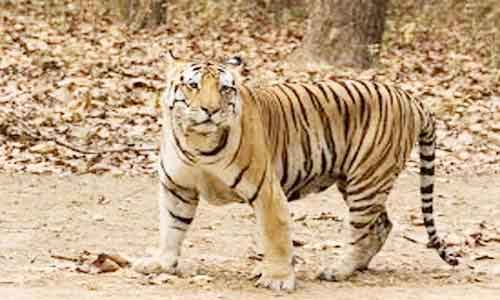 image of Royal Bengal tiger