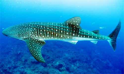 image of Whale-shark