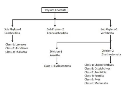 image of Phylum Chordata Classification