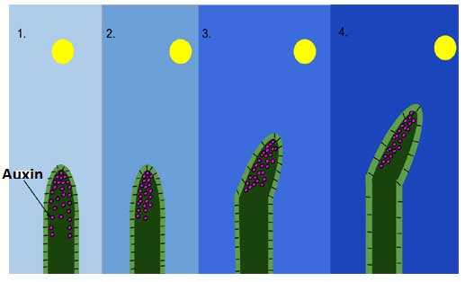 image of Auxin effect in plants