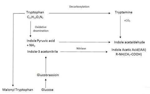 Image of Biosynthetic pathways of Auxin
