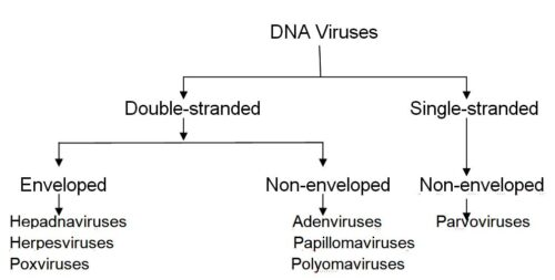 Image of DNA Viruses