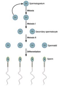 image of Spermatogenesis