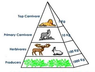 image of Biomass pyramid