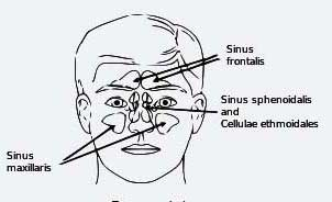 image of sinuses