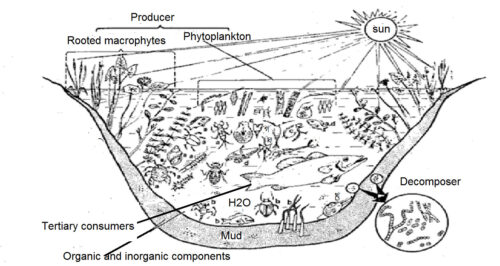 image of Ecosystem of stagnant water