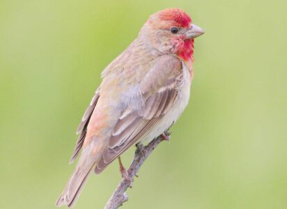 image of Common rosefinch
