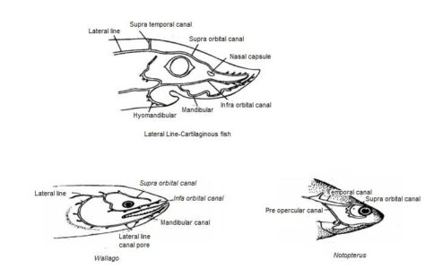 Image of Lateral line in different f